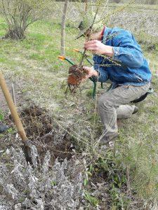 Iškeliame sodinukus iš sode esančio daigyno