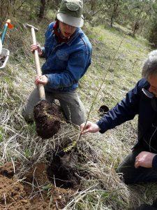 Pilame kompostinė žemės, kad sodinukai geriau prigytų ir pagautų augimą